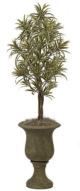 4 Foot Dracaena Reflexa Tree