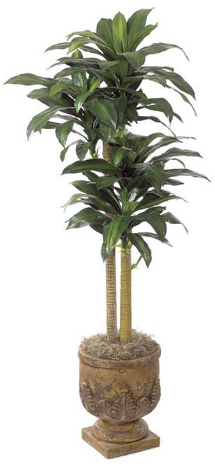 5 Foot Dracaena Tree