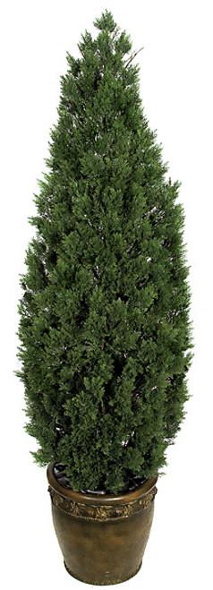 6 Foot Cedar Shrub Tree