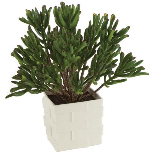 "A-14176011.5""  Potted Coral SucculentsWhite Square Pot"