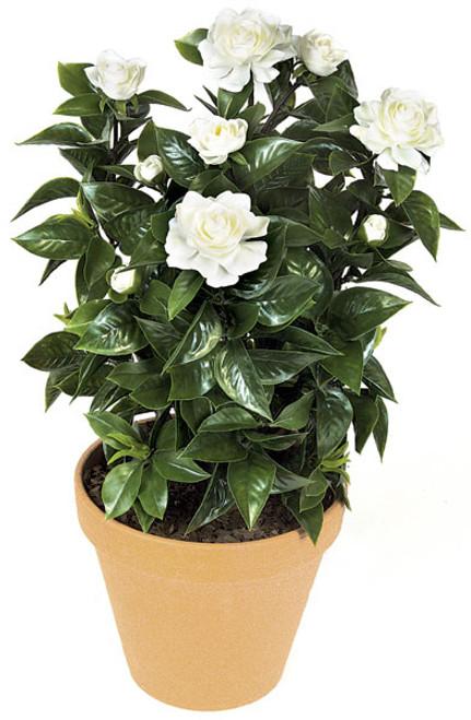 "A-069024"" Medium Gardenia PlantDecorative Pot Sold Separately"
