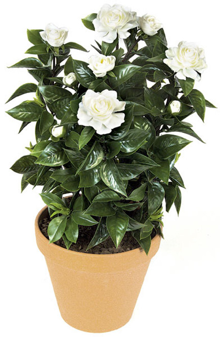 24 Inch Medium Gardenia Bush