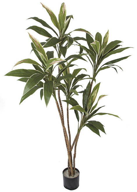 5 Foot Cordyline Plant on Natural Wood