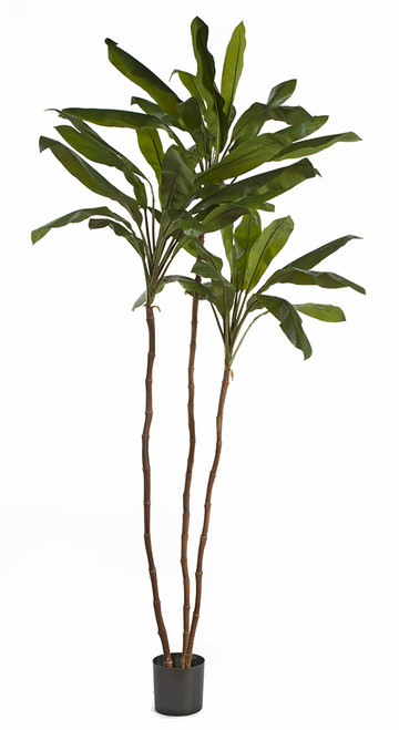 8 Foot Cordyline Tree x 3 on Natural Wood