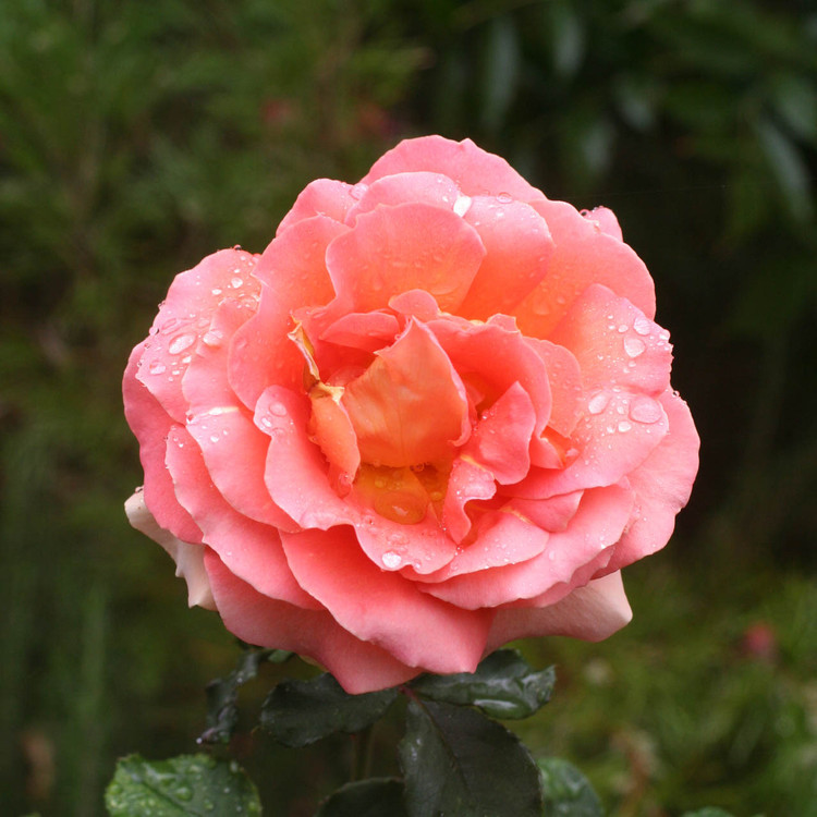 rose Brgiadoon