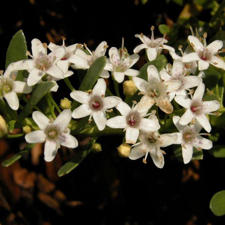 White Flower Succulent