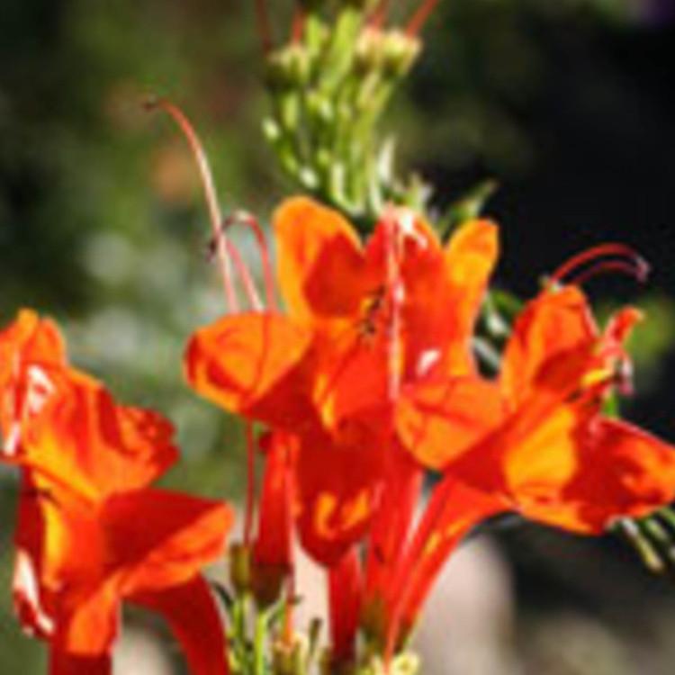 Tecomaria-capensis