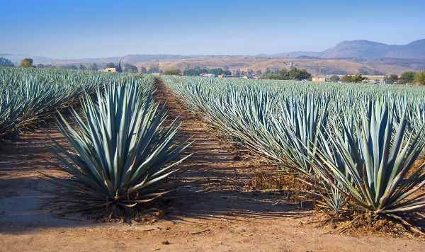 agave plants in the field