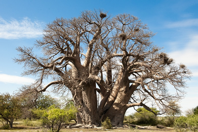 baobab-tree-supplement-placeresize.jpg