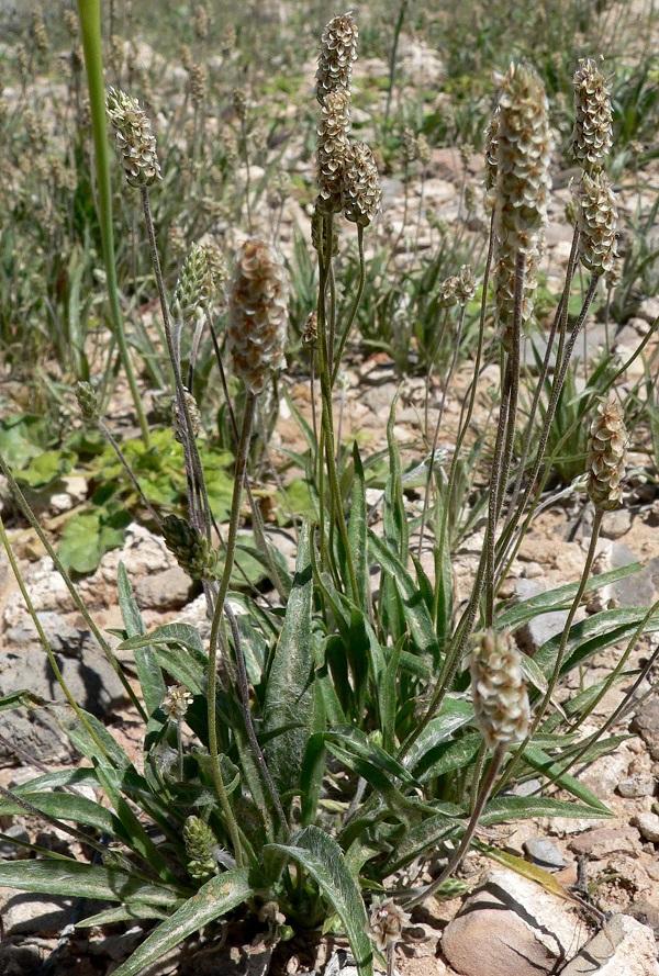 psyllium plant in the wild