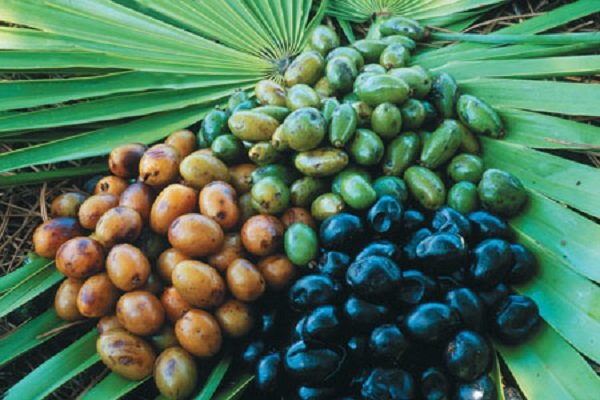 Saw Palmetto berries in different stages of drying