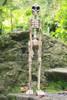 "Skeleton Statue 40"" Free Standing - Skull Decor | #kng21034100"
