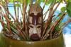 "Fijian Tiki Mask w/ Carved Turtle - 12"" Ocean Tiki Polynesian Art   #mdr1900530"