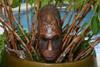 "FIJIAN TIKI MASK W/ 2 TURTLES - 12"" PROSPERITY - HAWAIIAN DECOR"