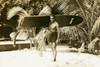 "Koa Surfboard Double Stringer 60"" X 12"" Hawaiian Vintage | #koalb34"