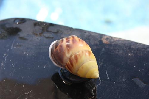 Seashell Magnet #6 - Coastal Decor