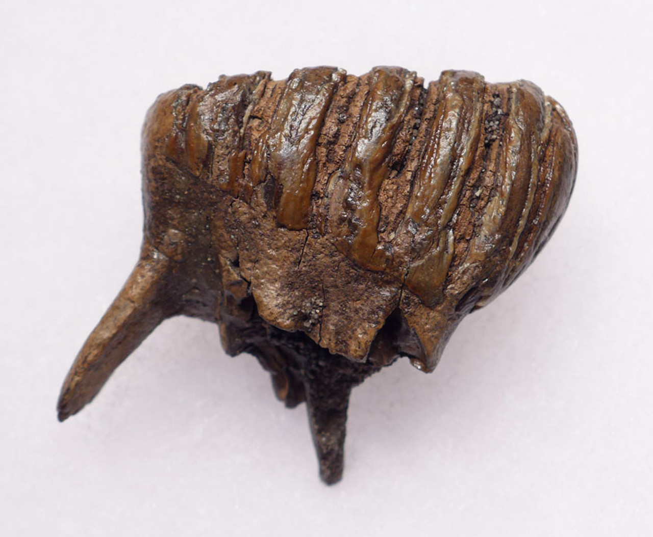 MTB003 - EXTREMELY RARE BABY CALF MERIDIONALIS SOUTHERN MAMMOTH TOOTH OF EUROPEAN ORIGIN