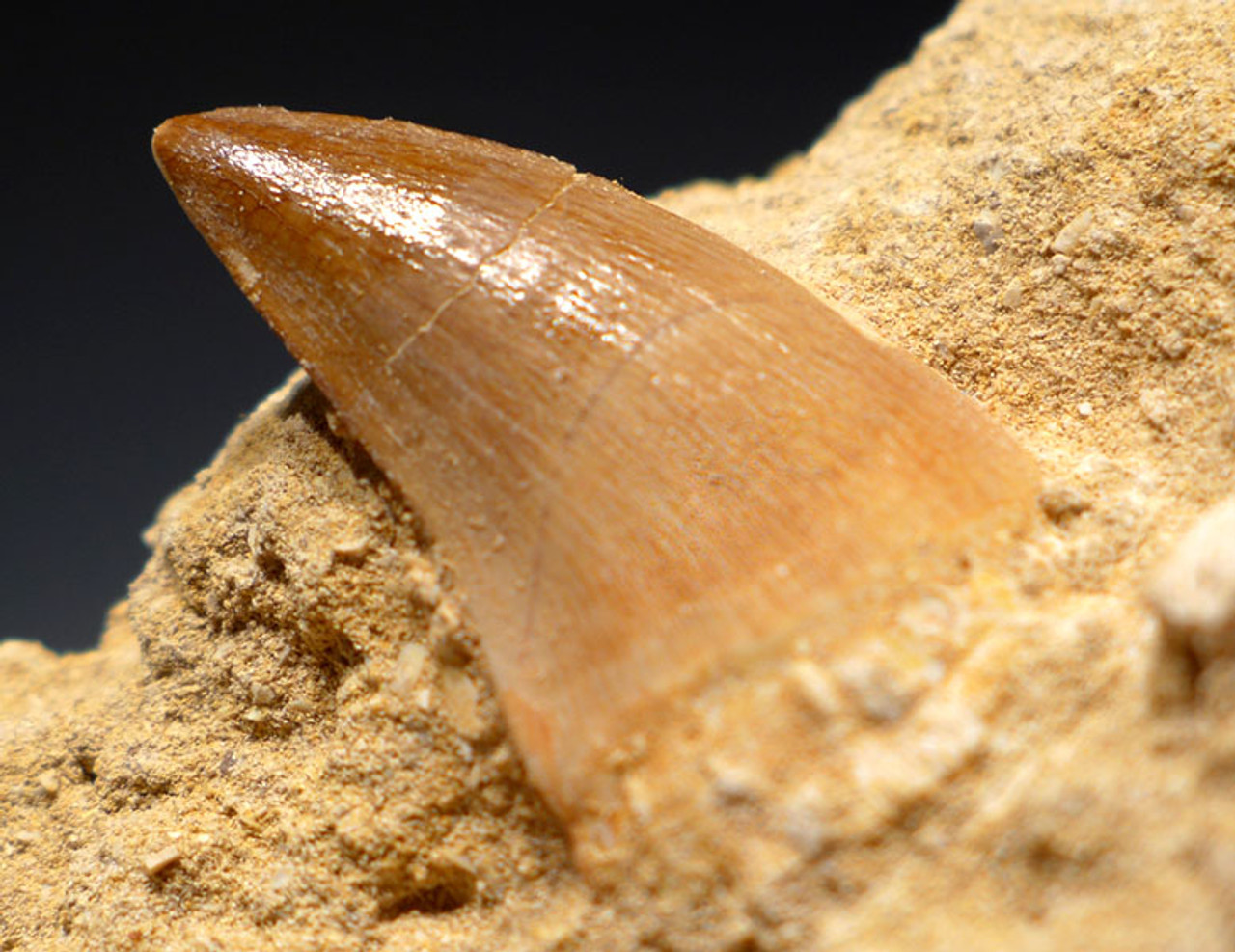 DT1X028 - SCARCE LIODON ANCEPS MOSASAUR TOOTH IN MATRIX