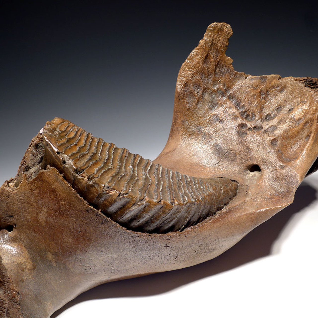 WMX002 - LARGE CENTRAL EUROPEAN WOOLLY MAMMOTH JAW WITH HUGE MOLAR IN FINEST PRESERVATION
