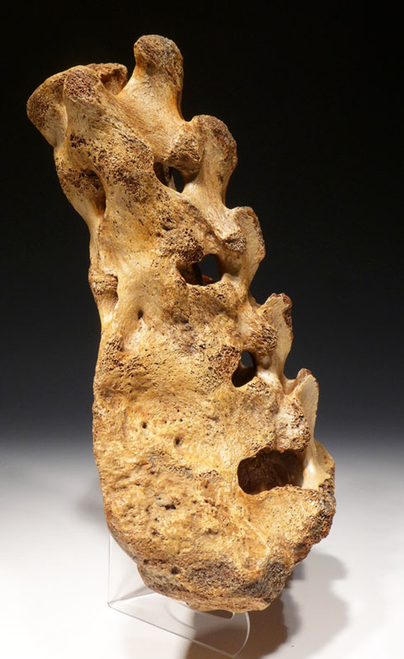 LMX140 - RARE LARGE WOOLLY MAMMOTH FOSSIL SACRUM BONE OF THE FINEST PRESERVATION