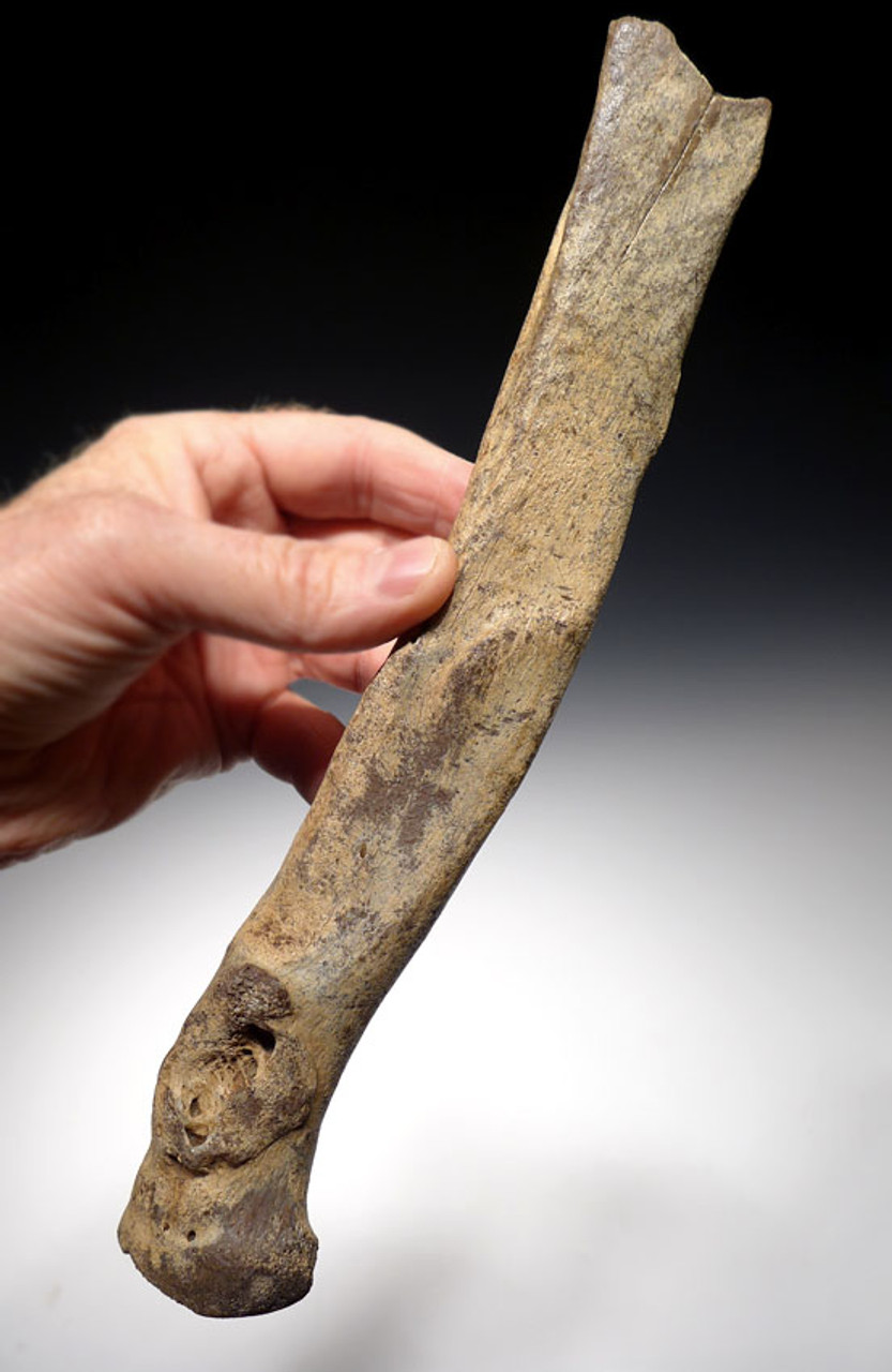 LMX104 - ULTRA RARE CAVE LION FOSSIL RADIUS ARM BONE FROM EUROPE