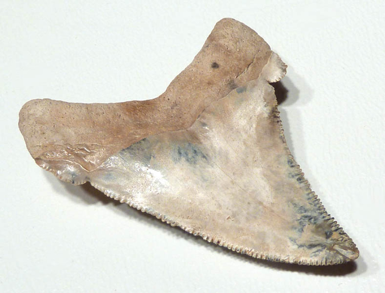 SHX010 - RARE BLUE, GOLD AND WHITE ANGUSTIDENS SHARK TOOTH FROM SUMMERVILLE