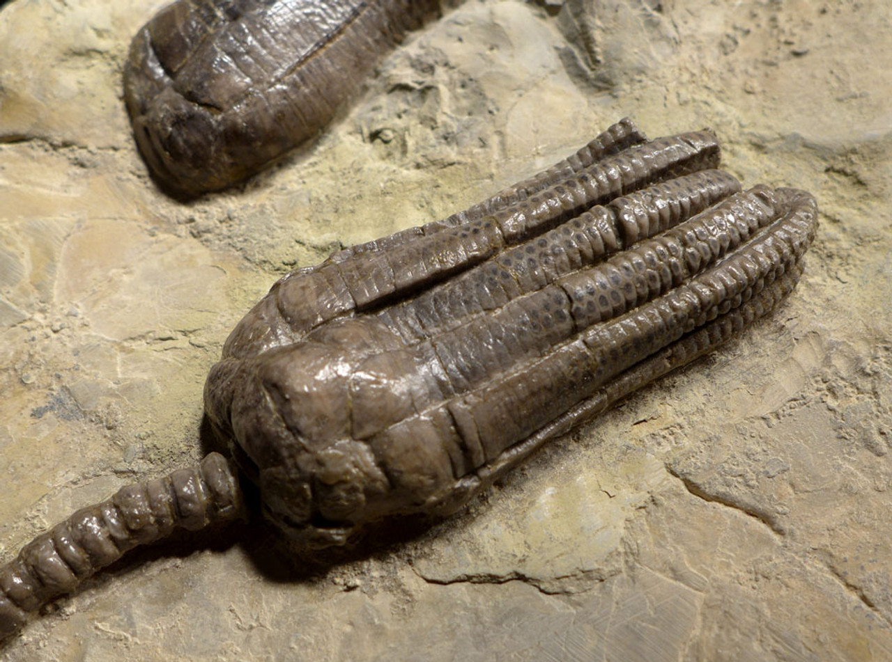 CRI037 - SPECTACULAR  MUSEUM-CLASS LARGE TRIASSIC SEA LILY CRINOID FOSSILS FROM ALVERDISSEN GERMANY