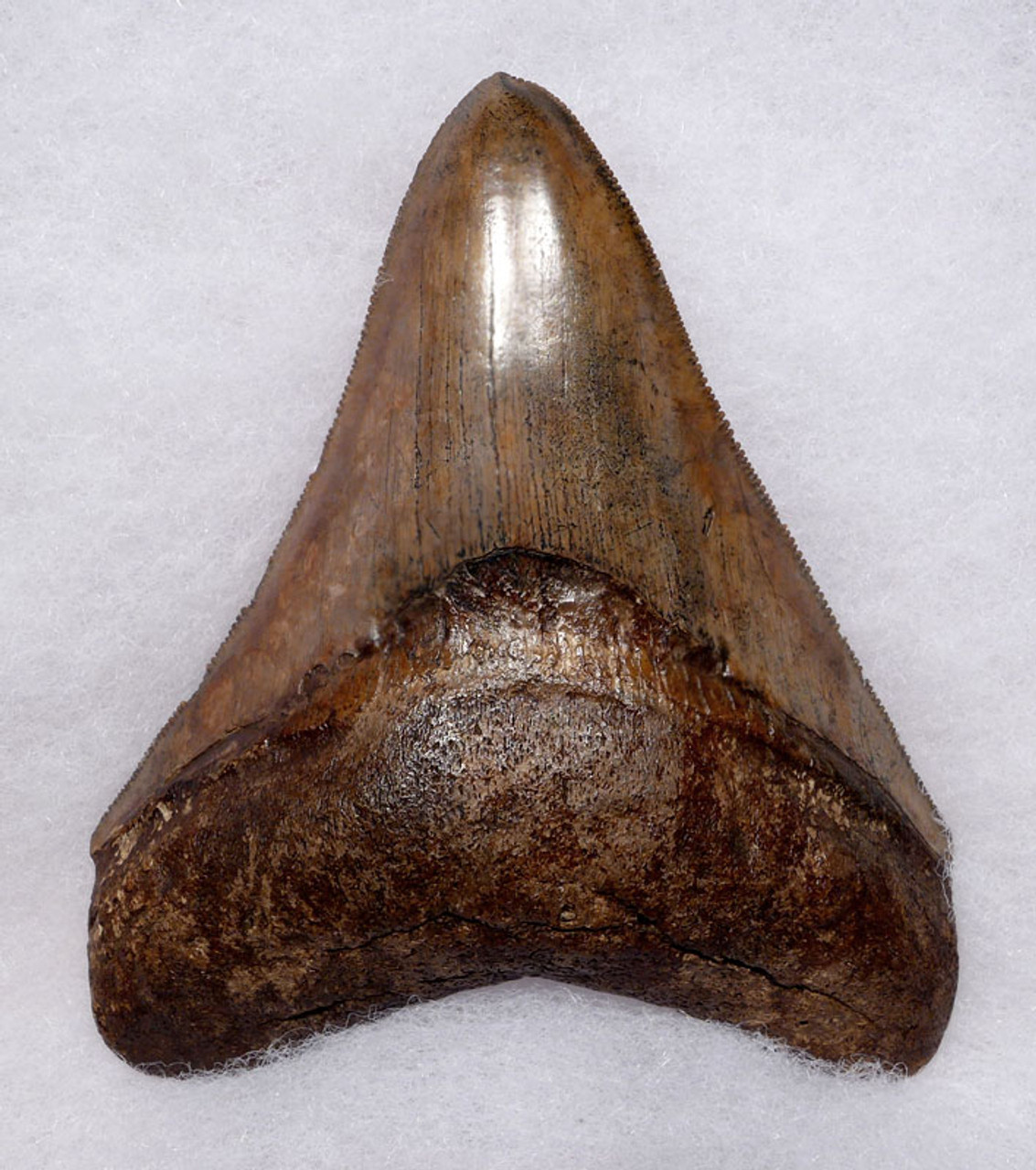 SH6-396 - PREMIUM COLLECTOR GRADE SPOTTED COPPER BROWN 4 INCH MEGALODON FOSSIL SHARK TOOTH WITH PATHOLOGY