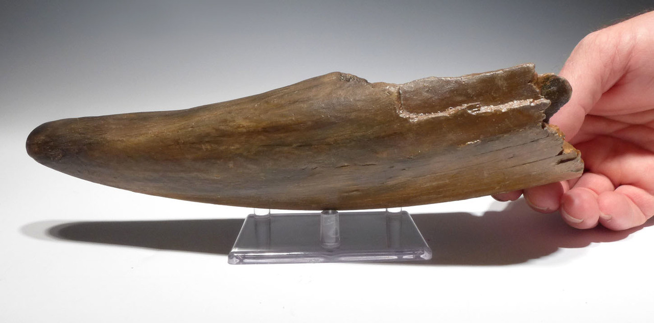WOOLLY MAMMOTH TUSK END OF EUROPEAN ORIGIN WITH NATURAL SHARP TIP *MTP01