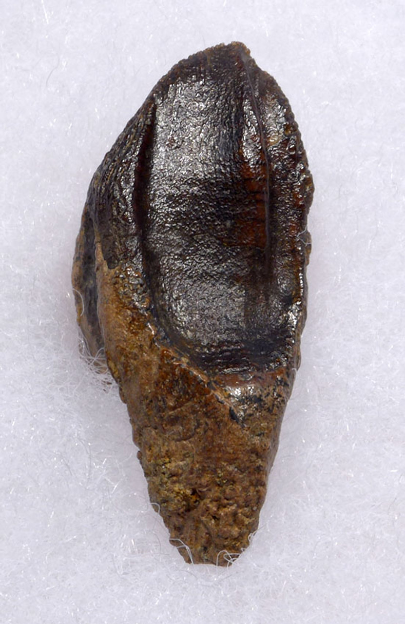 FINEST LARGE TRICERATOPS DINOSAUR TOOTH WITH UNWORN CROWN AND ROOT *DT19-038