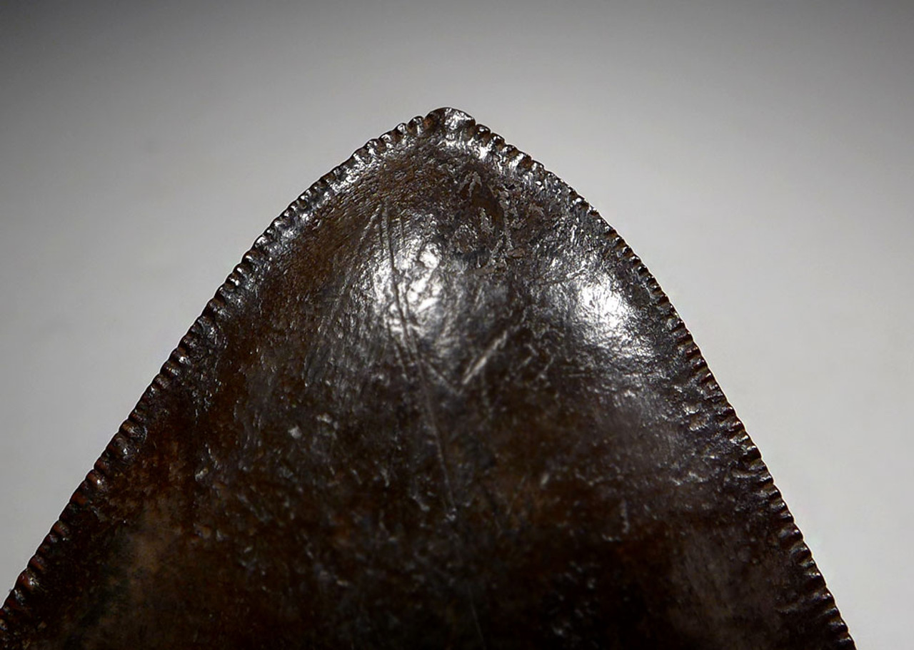 FINEST COLLECTOR GRADE COPPER RED BROWN 5.25 INCH MEGALODON SHARK TOOTH WITH STRONG CHATOYANCE *SH6-404