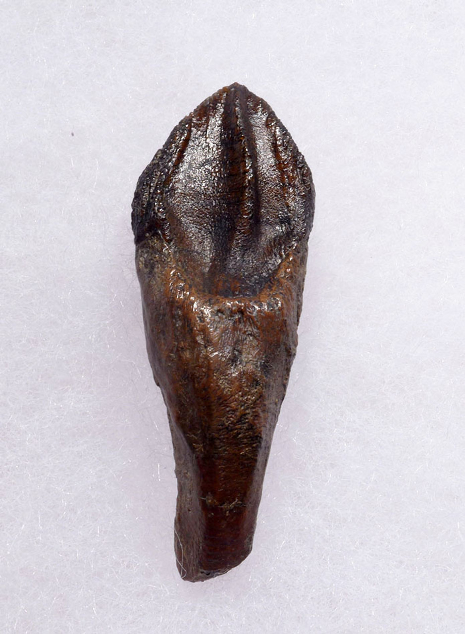 FINEST LARGE TRICERATOPS DINOSAUR TOOTH WITH UNWORN CROWN AND FULL ROOT *DT19-040