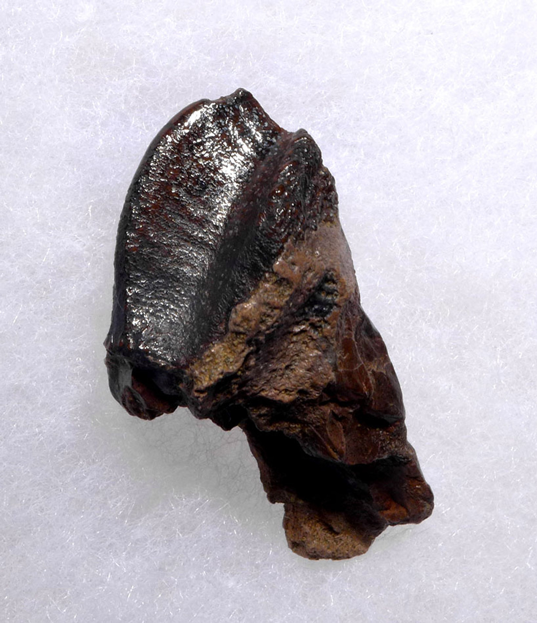 OUR LARGEST EVER GIANT TRICERATOPS DINOSAUR TOOTH WITH HUGE CROWN AND PARTIAL ROOT *DT19-041