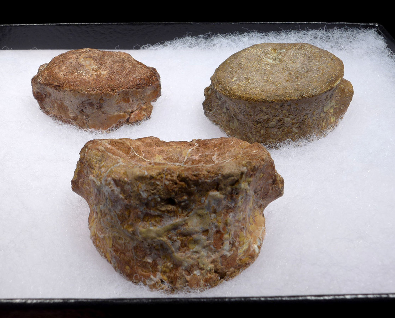 RARE SET OF 3 GIANT METOPOSAURUS AMPHIBIAN FOSSIL VERTEBRAE FROM THE TRIASSIC *MVX99