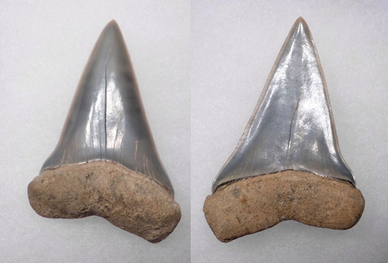 SH10-022 - FINEST SILVER BLUE EXTINCT SHARK COSMOPOLITODUS  XIPHODON ( WHITE SHARK ) FOSSIL TOOTH FROM LEE CREEK