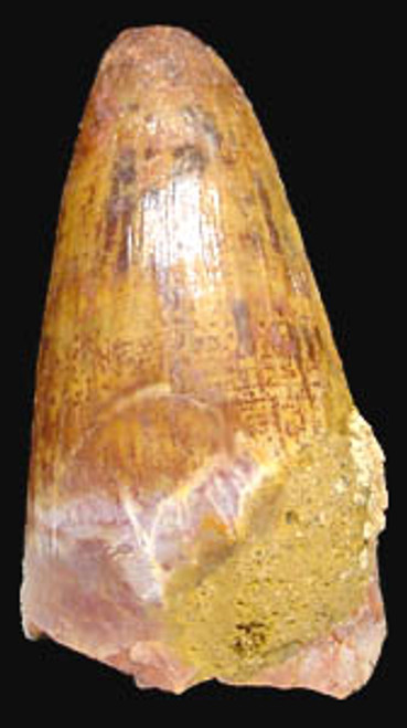 MV10-014 - DINOSAUR-ERA CRETACEOUS FOSSIL CROCODILE TOOTH