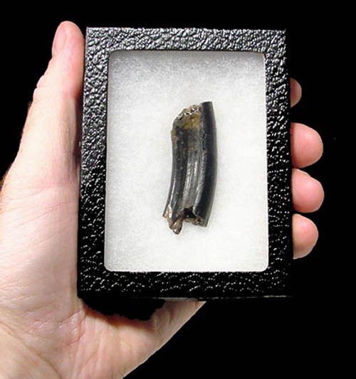 LM13-012- ULTRA RARE SPECIES EUROPEAN GIANT BEAVER INCISOR TUSK FROM ENGLAND