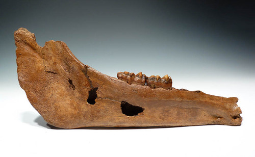 H018 - ICE AGE PLEISTOCENE EUROPEAN FOSSIL HORSE PONY MANDIBLE WITH ORIGINAL TEETH