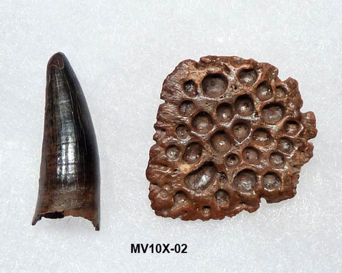 MV10X-02 - LEIDYOSUCHUS CROCODILE TOOTH / ARMOR PLATE