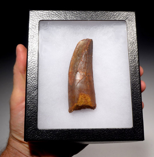 DT5-214 - FAT MONSTER 3.5 INCH SPINOSAURUS DINOSAUR TOOTH WITH SEVERE FEEDING WEAR