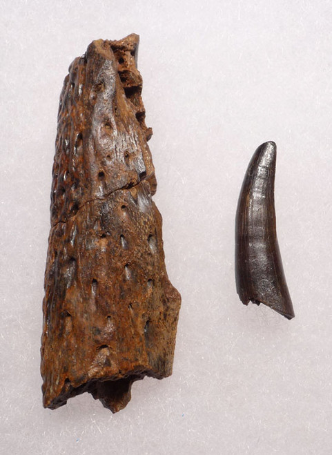CROC046 - DINOSAUR-ERA LEIDYOSUCHUS CROCODILE TOOTH WITH PARTIAL MANDIBLE JAW