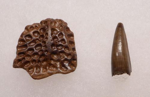 CROC036 - DINOSAUR-ERA LEIDYOSUCHUS CROCODILE TOOTH WITH ARMOR PLATE SCUTE