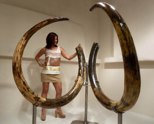 MTX001 - INVESTMENT-GRADE  LARGEST 11.5 FOOT PAIR OF WOOLLY MAMMOTH TUSKS FROM EUROPE'S FINAL ICE AGE
