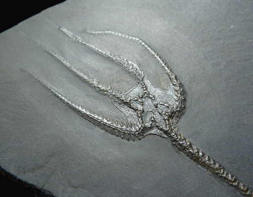 SF020 - LARGE DEVONIAN PERIOD FURCASTER BRITTLESTAR STARFISH FOSSIL FROM BUNDENBACH WITH SUPREME PRESERVATION