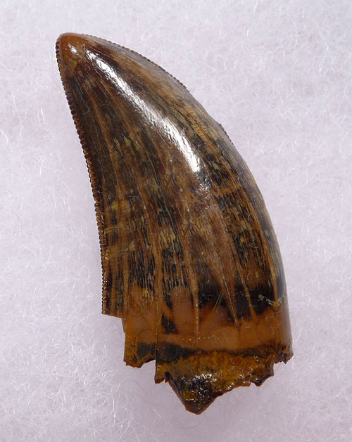 DT18-100 - INVESTMENT GRADE BABY TYRANNOSAURUS T REX TOOTH WITH SUPREME PRESERVATION