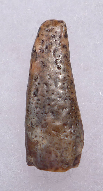 DT4-089 - RARE SWALLOWED CRETACEOUS FLYING PTERODACTYL PTEROSAUR TOOTH WITH EVIDENCE OF DIGESTION