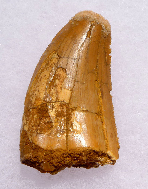 DT2-081 - CARCHARODONTOSAURUS FOSSIL TOOTH FROM THE LARGEST MEAT-EATING DINOSAUR