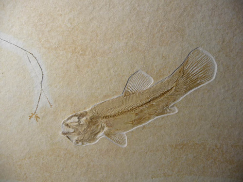 """F063 - INCREDIBLE NATURAL """"FISHING SCENE"""" FISH FOSSIL FEATURING A  RARE JURASSIC BOWFIN FROM FAMOUS SOLNHOFEN DEPOSITS"""