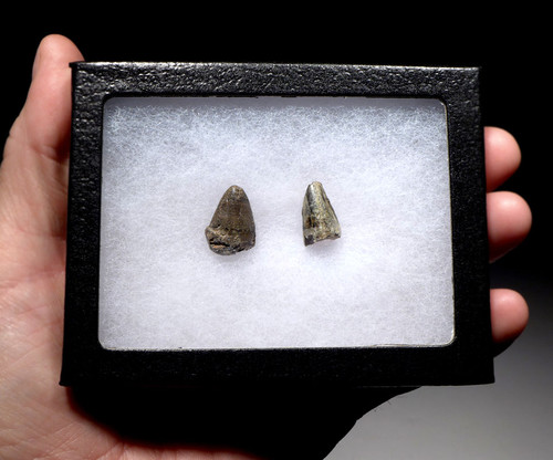CROC053 - JAVA MAN KILLER RARE PAIR OF FOSSIL CROCODILE TEETH FROM THE FAMOUS HOMO ERECTUS DEPOSITS OF SOLO RIVER