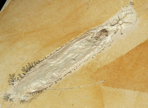 SQ009 - RARE PRESERVATION JURASSIC PLESIOTEUTHIS SQUID FOSSIL WITH CRYSTALLIZED MOUTH AND TENTACLES ON LARGE SOLNHOFEN LIMESTONE